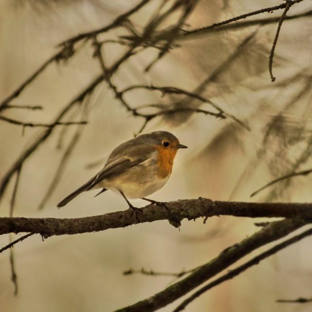 """""""Little Robin"""" stock image"""