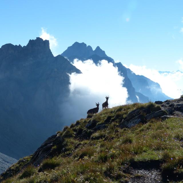 """""""Alpine ibex"""" stock image"""