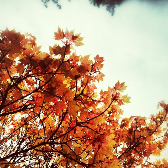 """""""Acer in Autumn"""" stock image"""