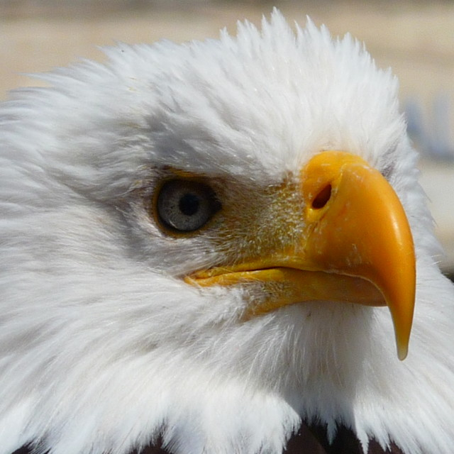 """""""Bald Eagle up close and personal"""" stock image"""