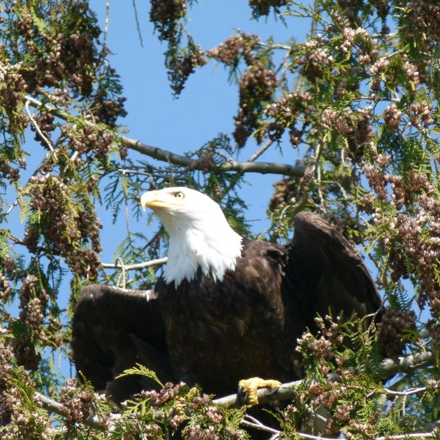 """""""Bald Eagle about to take off"""" stock image"""
