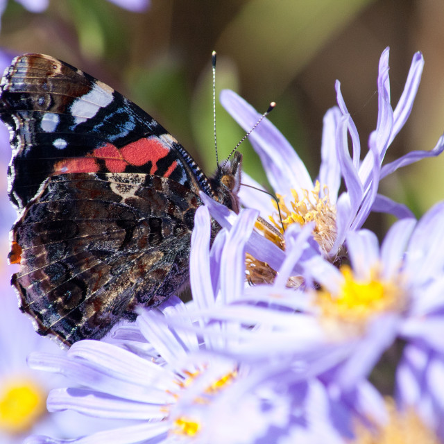 """""""Red Admiral"""" stock image"""
