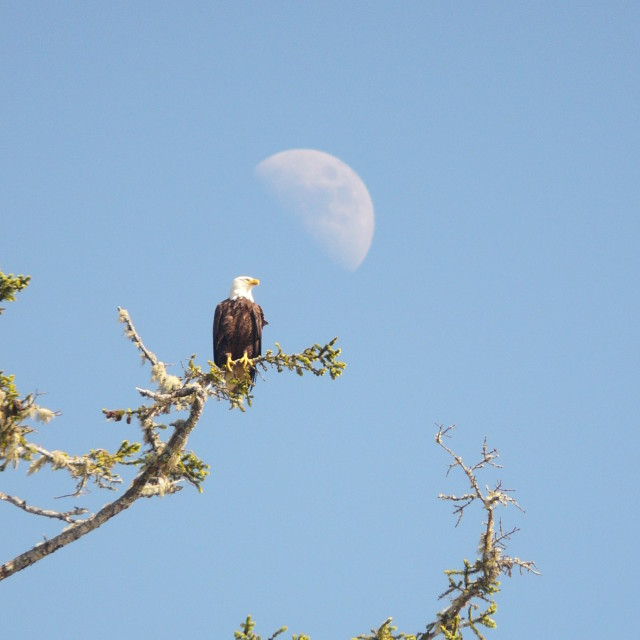"""Bald Eagle & Moon"" stock image"