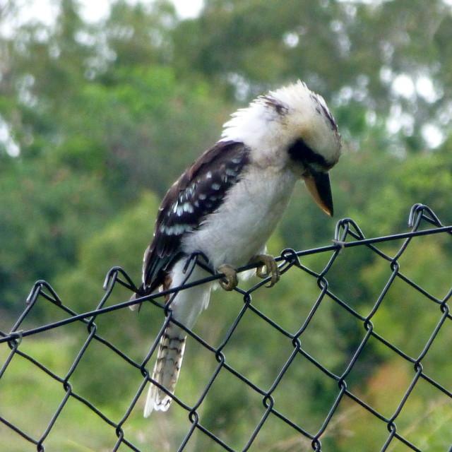 """Kookaburra in the wild"" stock image"