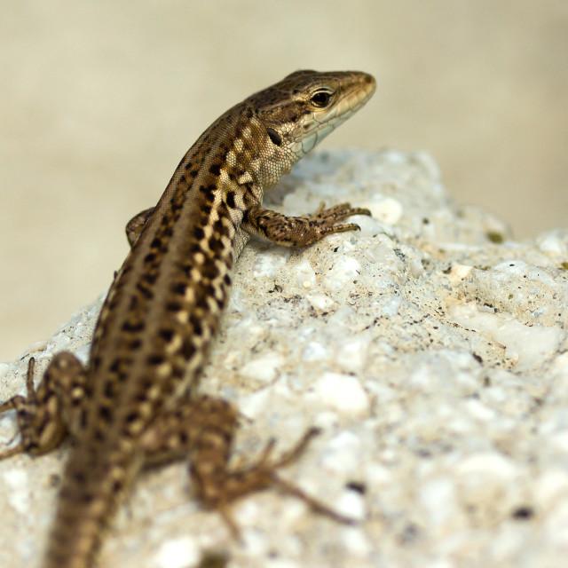"""Lizard"" stock image"