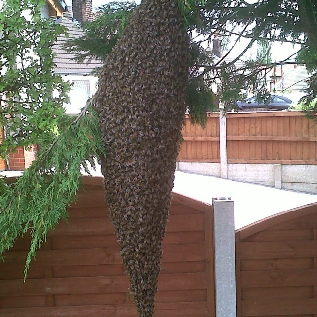 """Huge Honey Bee Swarm"" stock image"