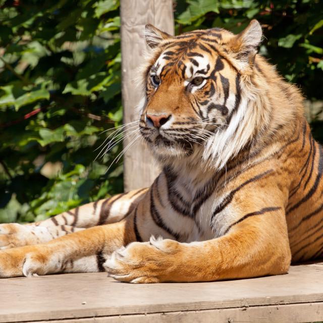 """Resting Tiger"" stock image"