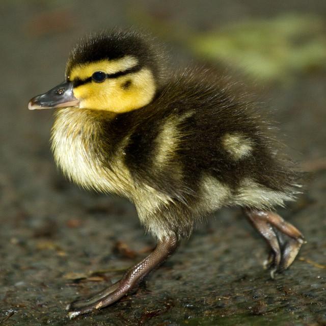 """Run Duckling"" stock image"