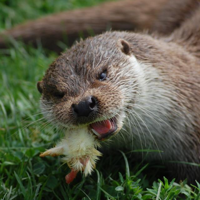 """""""Otter Crunch"""" stock image"""
