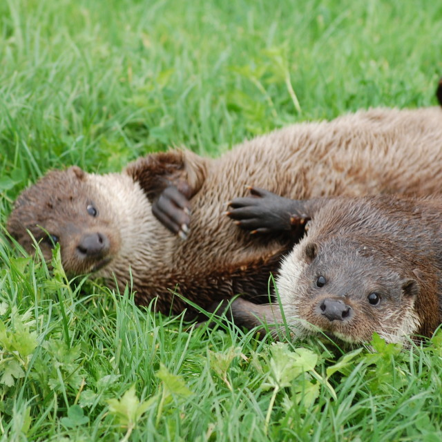 """Otter Mates"" stock image"