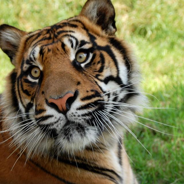 """Tiger head"" stock image"