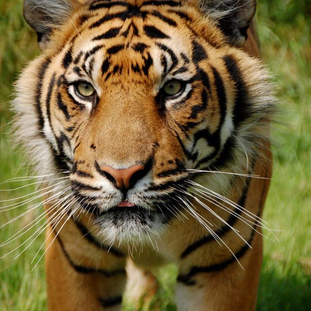 """Move quick tiger"" stock image"
