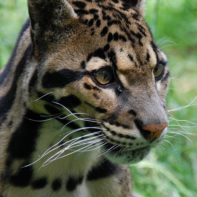 """Wild Cat"" stock image"