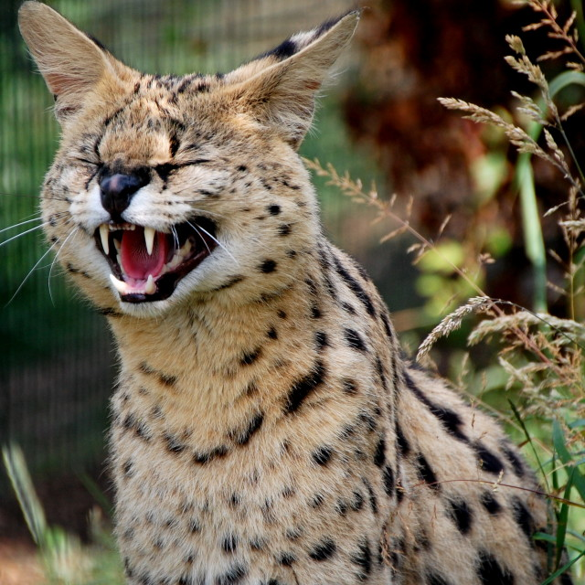 """""""Wild Cats"""" stock image"""