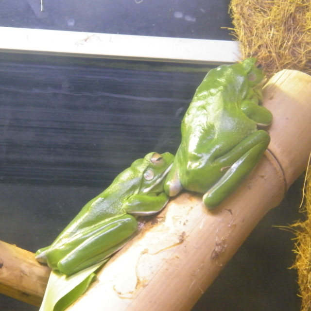 """Tree Frogs"" stock image"