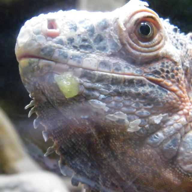"""""""Messy Iguana"""" stock image"""