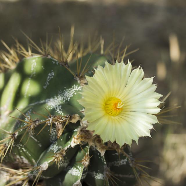 """Flowering Cactus"" stock image"