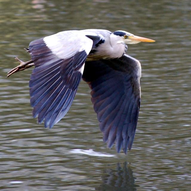 """""""Flying Heron"""" stock image"""
