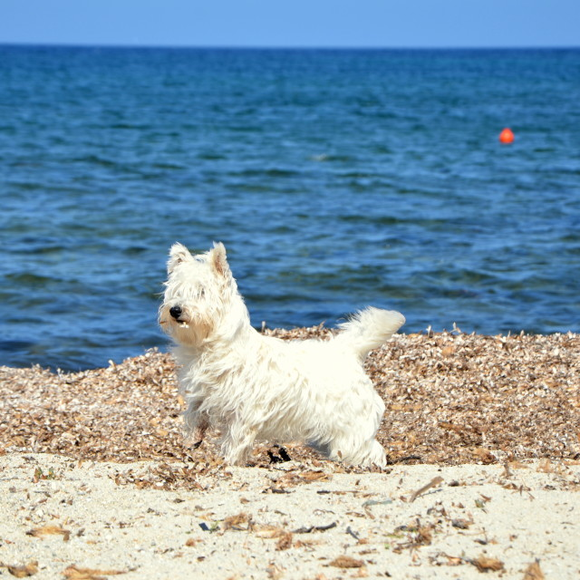 """Beach Westie"" stock image"