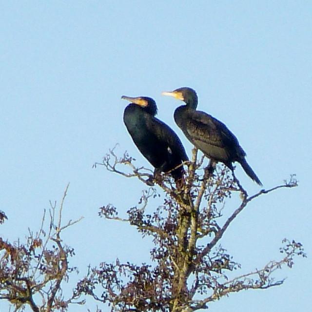 """""""Freshwater Cormorants"""" stock image"""