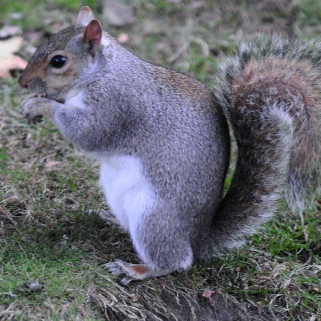 """squirrel squirrel in the park"" stock image"