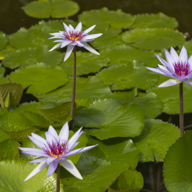 """Lily Pad"" stock image"
