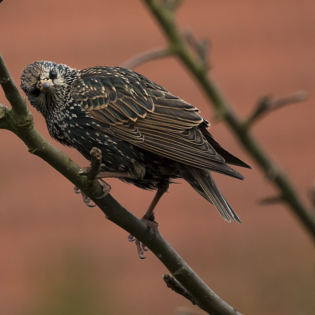 """Starling"" stock image"