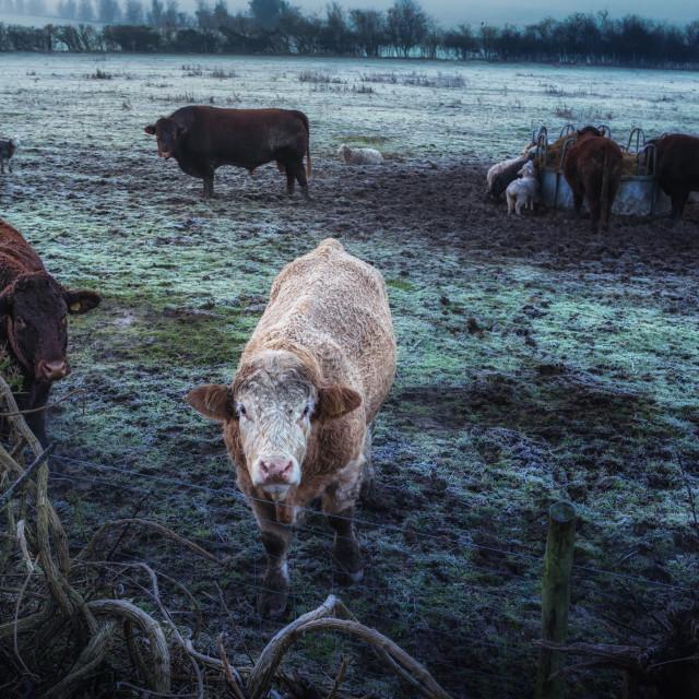"""""""Frozen Beef"""" stock image"""