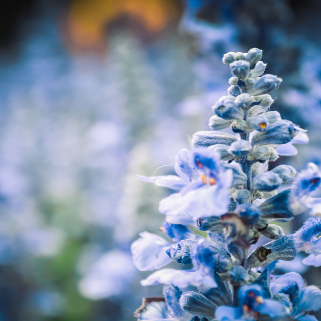 """flowers in blue"" stock image"