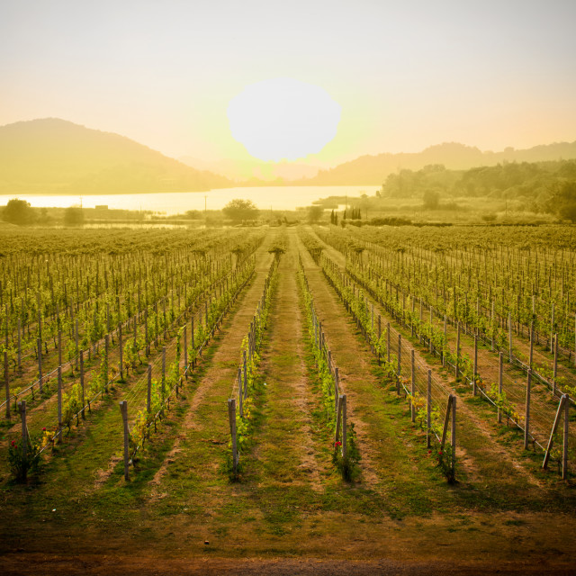 """Vineyards at sunset"" stock image"