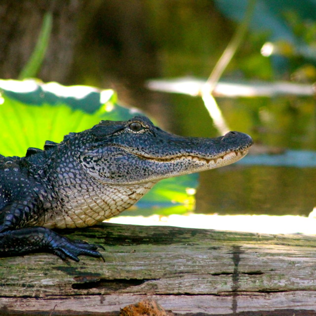 """Alligator at home"" stock image"