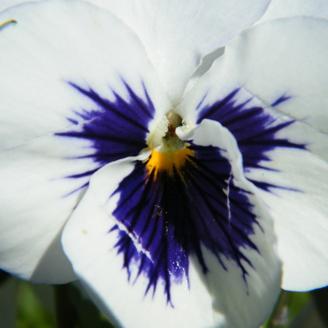 """Pansy Close Up"" stock image"