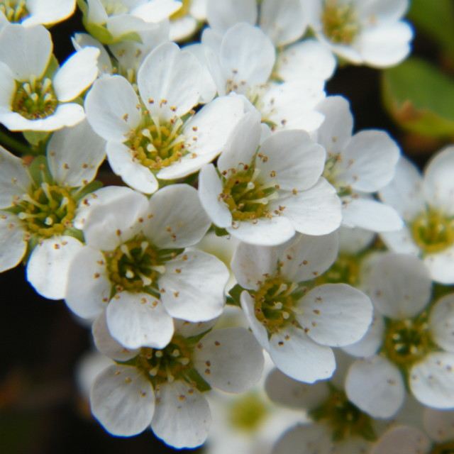 """White Blossoms"" stock image"