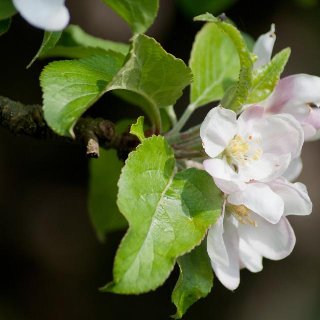 """""""Blossom"""" stock image"""