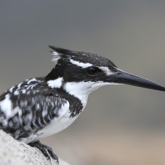 """Pied kingfisher in Kruger National Park, South Africa"" stock image"
