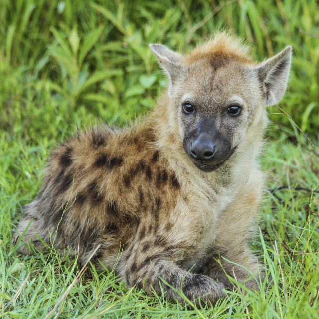 """""""Hyena cub in Kruger National Park, South Africa"""" stock image"""