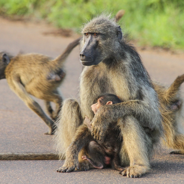"""""""Mother baboon with her baby in Kruger National Park, South Africa"""" stock image"""