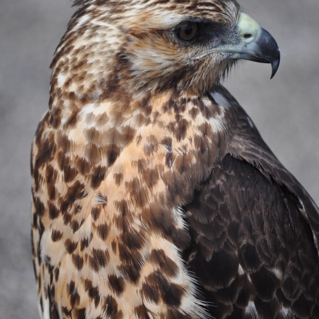 """Galapagos Hawk"" stock image"