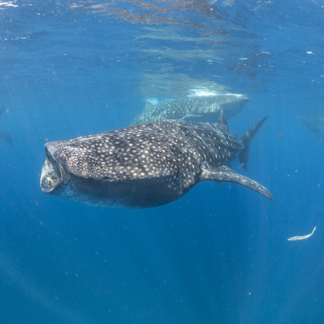 """Whale sharks and manta rays feeding together off Mexico"" stock image"