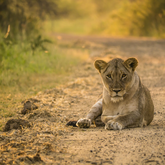 """Lioness sleeping on the road in the early morning"" stock image"