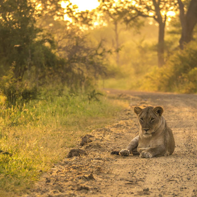 """Lioness sleeping on the road at dawn"" stock image"