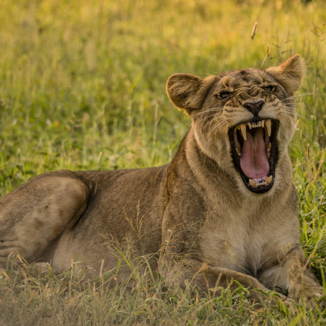 """Lioness Yawn at Kruger National Park, South Africa"" stock image"