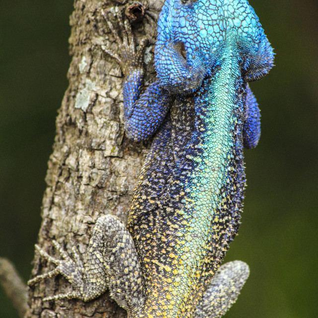 """""""Colourful blue-headed agama lizard in South Africa"""" stock image"""
