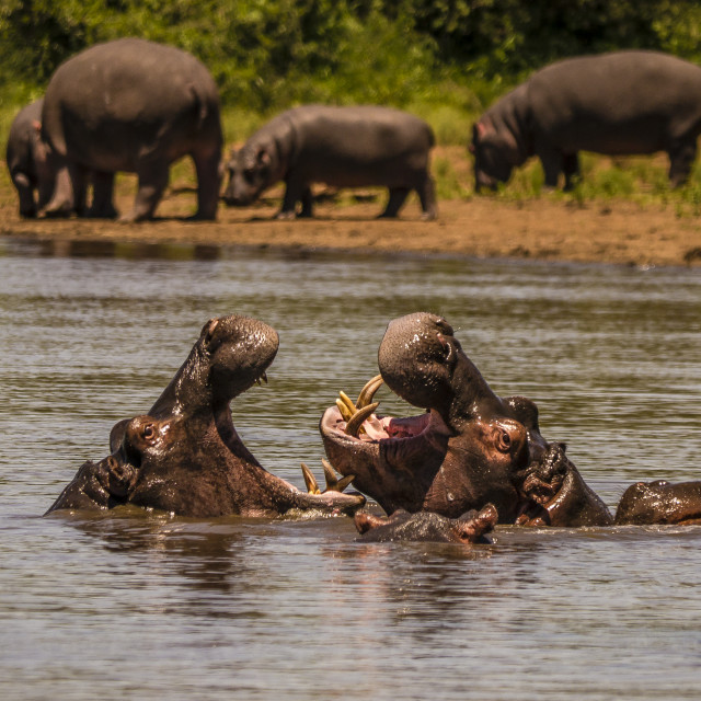 """Hippos fighting in Kruger National Park, South Africa"" stock image"