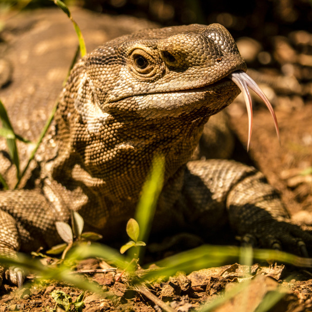 """""""Rock monitor lizard in Kruger National Park, South Africa"""" stock image"""