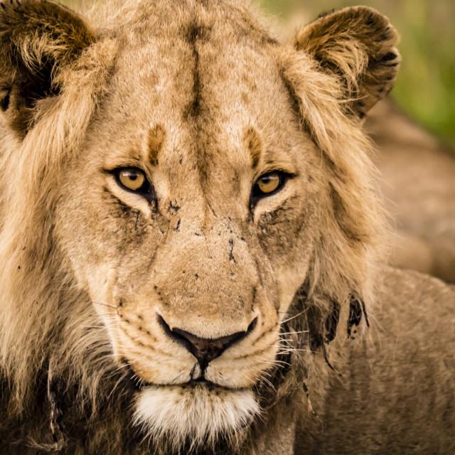 """""""Lion profile at sunrise, Kruger National Park, South Africa"""" stock image"""