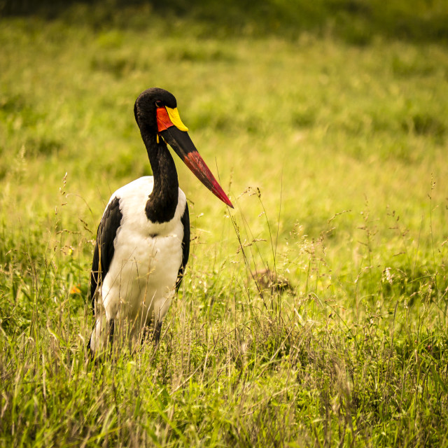 """A saddle-billed stork in the savannah, Kruger National Park, South Africa"" stock image"