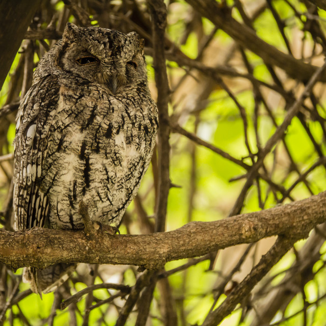 """Tiny Scopes Owl in Kruger National Park, South Africa"" stock image"