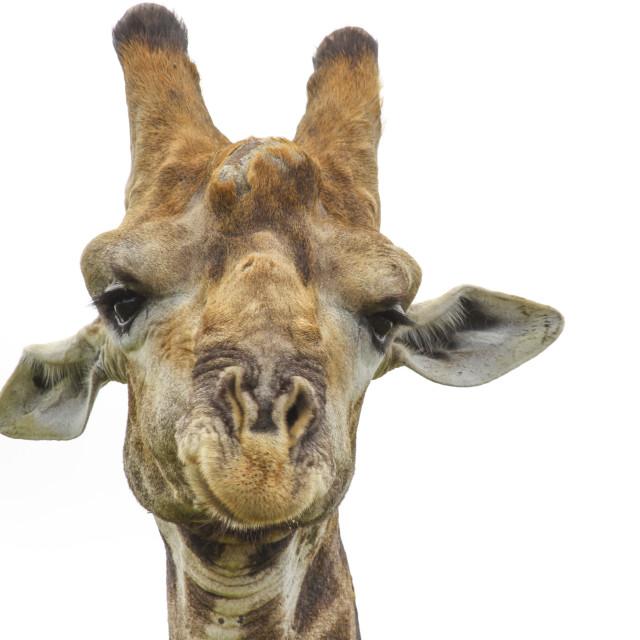 """""""Giraffe profile shot, Kruger National Park, South Africa"""" stock image"""