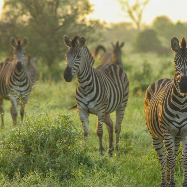 """""""Zebras at Sunrise, Kruger National Park, South Africa"""" stock image"""
